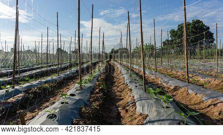 Field Of Cucumber Green Leaves Vegetable Plantation Farm Land