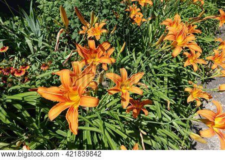 Plenty Of Orange Flowers Of Hemerocallis Fulva In Mid June