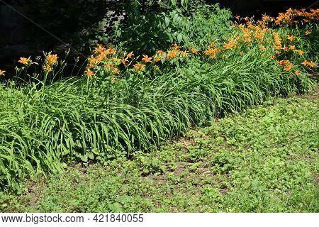 Row Of Flowering Orange Hemerocallis Fulva In Mid June