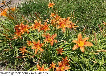 Whole Lot Of Orange Flowers Of Hemerocallis Fulva In June