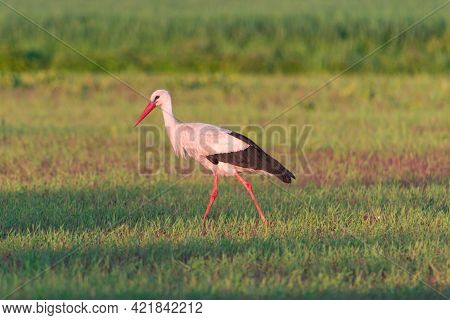 Haymaking In The Meadow. For The Mowing Of Freshly Mown Grass With A Tractor. A Wild Bird, A Stork,