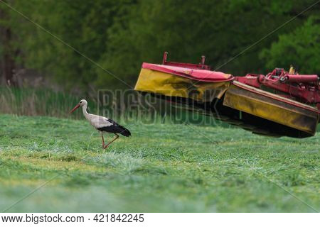 A Stork On A Mowed Meadow Looking For Food.\nhaymaking In The Meadow. For The Mowing Of Freshly Mown