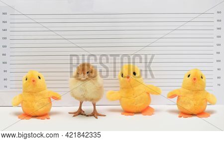 Conceptual Real And Toy Chicken Posing For Mug Shot At Police Station