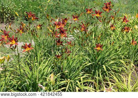 Whole Lot Of Red And Yellow Flowers Of Daylilies In June