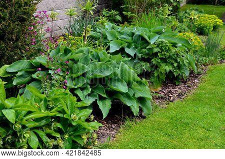 Big Green Leaves Perenial Plant Shade Tolerant White Flowers Turf Bunch