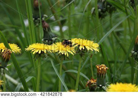 Shaggy Bumblebee Sits On Yellow Dandelion Flowers