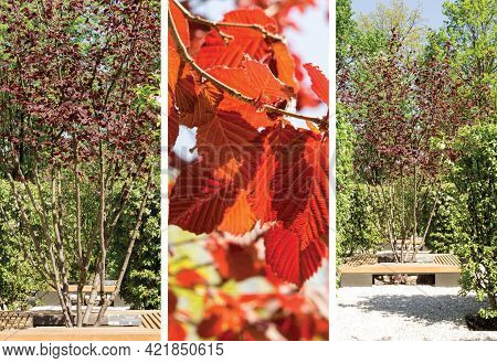 Red-leaved Hazel In A Landscape Park, Spring View, Collage.