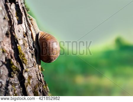 Little Helix Pomatia Snail Crawling On Tree Bark In Summer Garden.