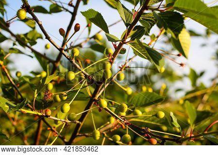 Ripening Cherries On Tree In Summer Garden.