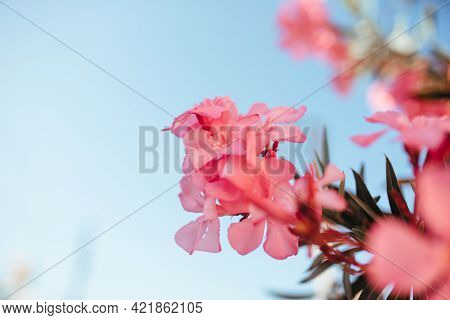 Lagerstremia Blooms On The Trees Of Turkey. Gardening And Floristry Concept