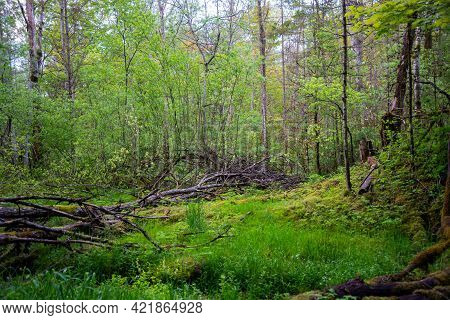 Beautiful Forest View With Green Grass And Shrubs. A Broken Tree In The Green Grass Is Overgrown Wit
