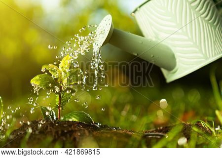 Closeup Watering Can Pouring Water On Green Plant. Agriculture And Gardening, Planting, Seeding Grow