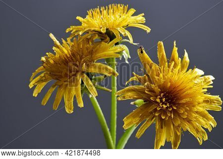 Three Beautiful Yellow Dandelion Blooms On A Dark Background. Close Up