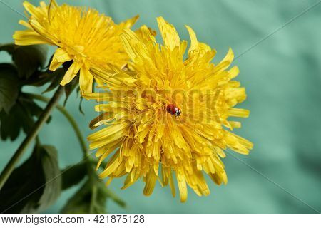 Beautiful Yellow Dandelion Blooms With A Ladybug On A Green Background. Close Up