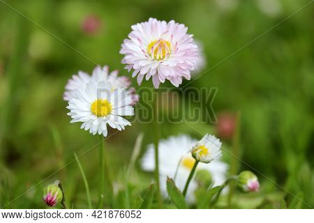 White And Pink Daisy Flowers In Green Grass, Floral Background. Marguerites On Flowerbed In Summer,