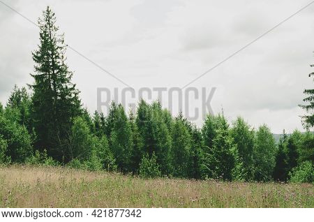 Small Lawn With Yellowed Grass And Lilac Flowers Among Dark Green Fir Trees Deciduous Trees Low Bush