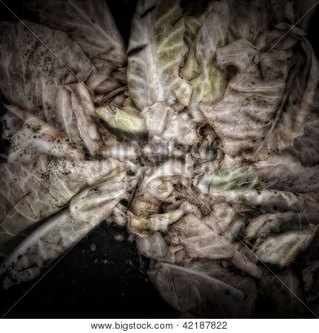 Rotting Cabbage Leaves