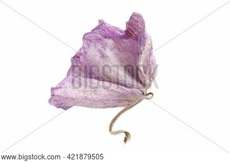 Single Pink Orchid Sear Flower Isolated Over White