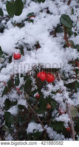 Snow On The Red Holly Berries And Green Leaves In Winter.