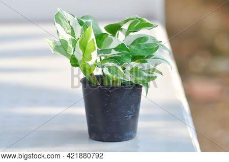 Epipremnum Aureum Or Linden And Andre Plant