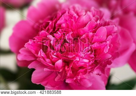 Beautiful Pink Peonie Flower On Light Background. Peony Flowers Bunch