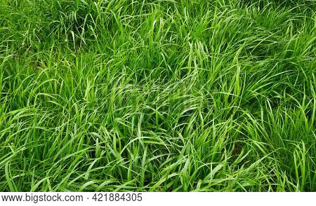 Green Succulent Unmown Grass In Spring. Green Grass In A Meadow Or Pasture. Nature Spring Grass Back