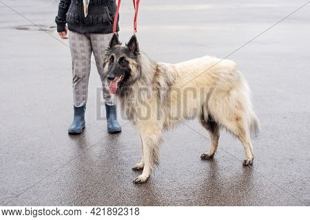 Woman In Rubber Boots And Jacket Walks With Large Fluffy Belgian Sheepdog On Red Leash In City Stree
