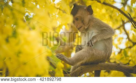 Portrait Baby Macaque On A Cassia Fistula Tree Branch In  Thailand, South East Asia. Yellow Flowers