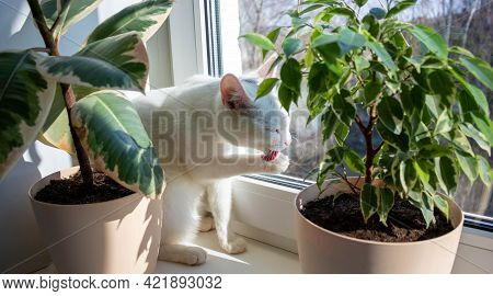 A White Adult Cat Licks Its Paws. Cat Licks Paw On Window On Sunny Day