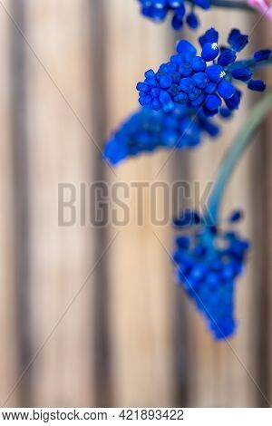 Wonderful Small Blue Muscari Flowers Cluster As Decorative Element On Beige Blurred Background Extre