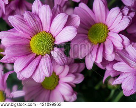 Purple Daisy, Daisy Or Parisian Daisy Argyranthemum