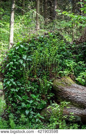 Plants And Ferns Growing On The Rhizome Of A Fallen Tree Are Drawn Up Towards The Sun
