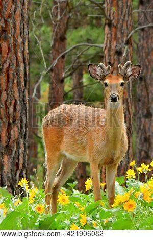 White Tail Deer, Buck, Bitterroot Mountains, Montana.