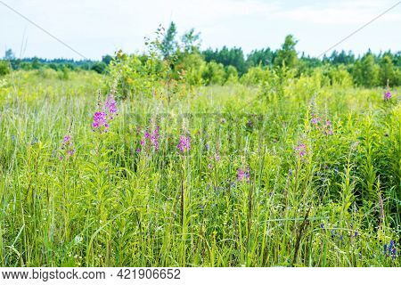 Gentle Pink Windflowers And Lush Green Grass Grow In Large Fresh Field Under Cloudy Sky On Warm Sunn