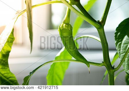 Hot Chili Pods. Green Pepper Pod. Hot Pepper On A Branch. Growing Seedlings. Seasoning For Food. Spi