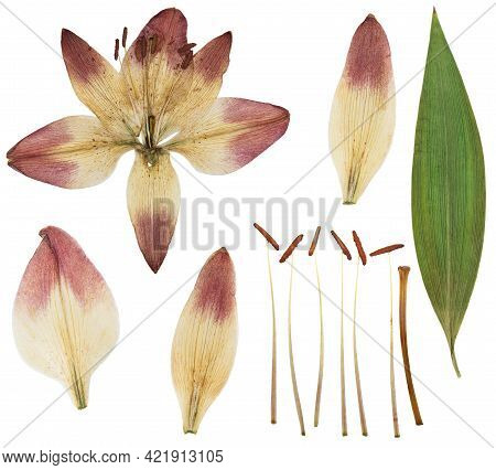 Pressed And Dried Yellow Flower Lily Isolated On White Background. For Use In Scrapbooking, Floristr
