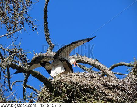 Storks In Nest High On Top Of Leafless Larch Tree In Early Spring, Wings Spread Wide, In The Biggest