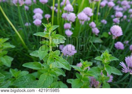 A Sprig Of Oregano On The Background Of Inflorescences Of Chives.