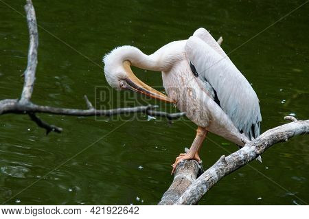 Pelican On The Branch Near Water. Bird Cleaning Their Feathers
