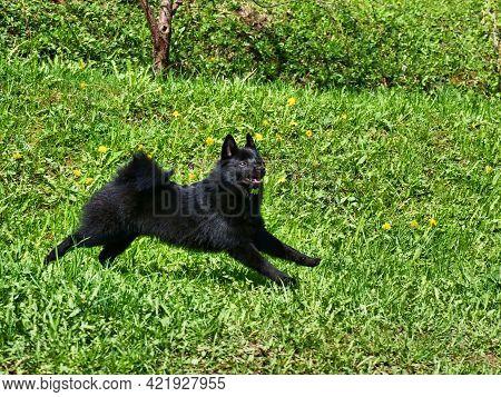 Small Adorable Belgian Shepherd Schipperke Runs Through The Green Grass. Sunny Day