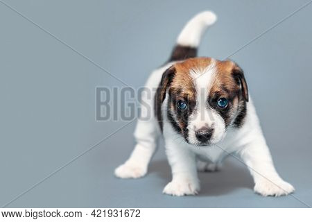 Puppy on gray background. Young small dog studio shot