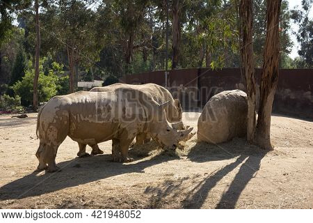 Pair Of White Rhinos (ceratotherium Simum) In Captivity In The Zoological Park Feeding After A Mud B