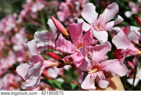 Close-up Photo Of Beautiful Bright Pink Oleander Flowers.nerium Oleander Is A Shrub Or Small Tree Cu