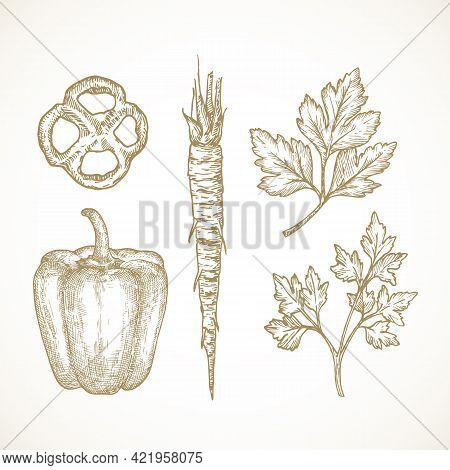 Hand Drawn Vegetables And Herbs Vector Illustrations Collection. Parsley Leaves And Root And Bell Pe