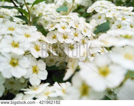 Selective Focus Of Flowering Shrub Spirea Wangutta. Beautiful White Flowers Of Deciduous Ornamental