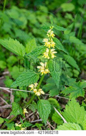 Lamium Galeobdolon, Commonly Known As Yellow Archangel, Artillery Plant, Aluminium Plant, Or Yellow