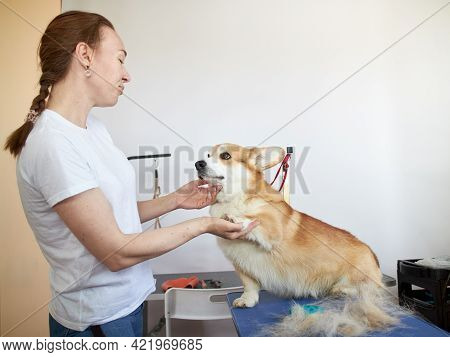 Girl With A Pembroke Welsh Corgi Standing On The Table Next To The Hairline In The Grooming Room