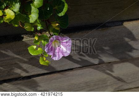Close-up Of Pink Seashore False Bindweed Flower And Leaves Hanging On Boardwalk, Illuminated With Na