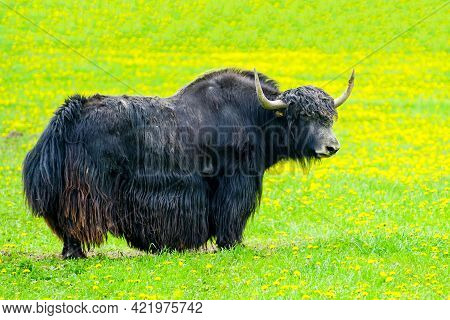 Long Haired Domestic Yak, Bos Grunniens Stands In A Flowering Meadow