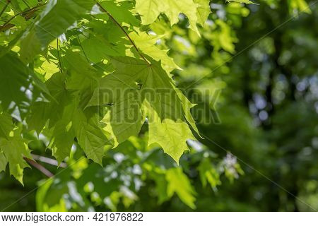 A Branch With Bright Green Leaves Of A Summer Maple